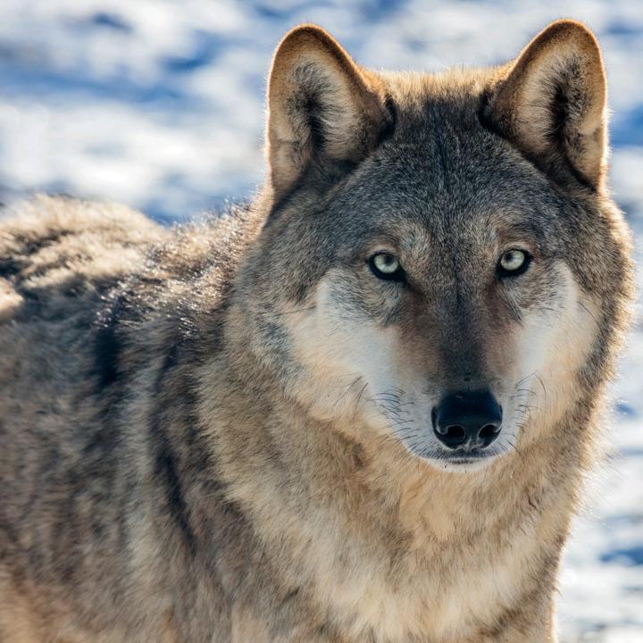 养狼的摄影师